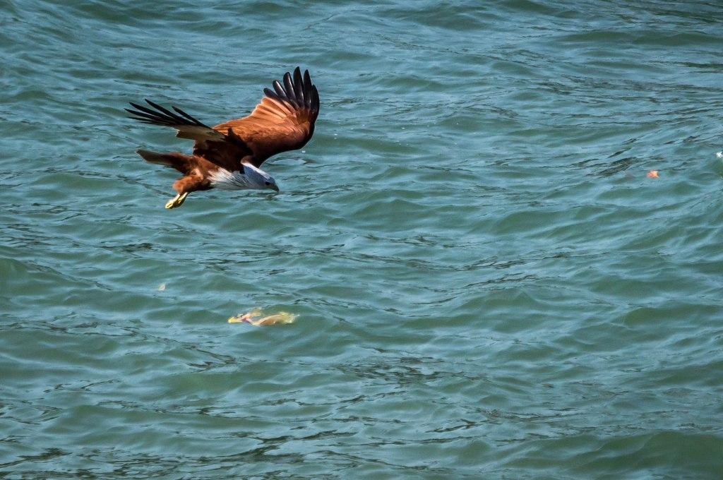 Seaeagle dive