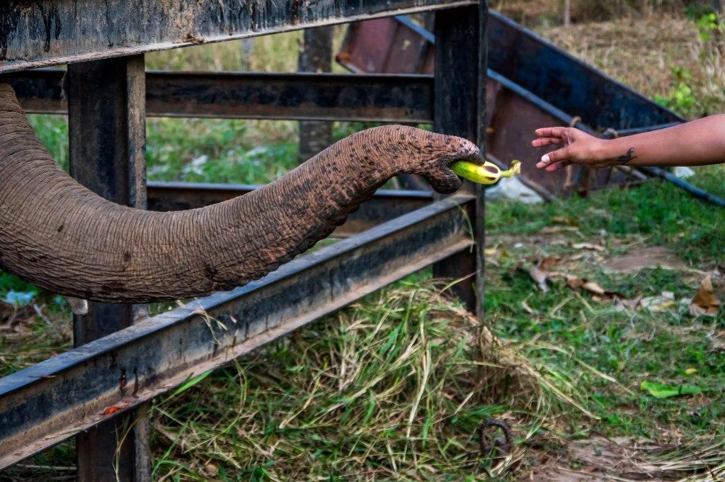 feed banana
